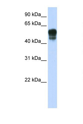 Western blot - SPNS1 antibody (ab105657)