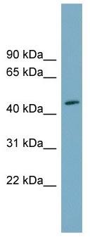 Western blot - FAM53C antibody (ab105679)