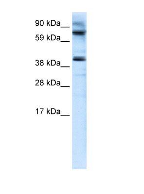 Western blot - MANSC1 antibody (ab105686)