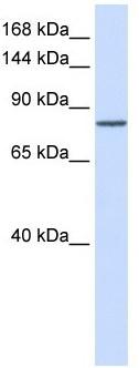 Western blot - PCDHAC1 antibody (ab105700)