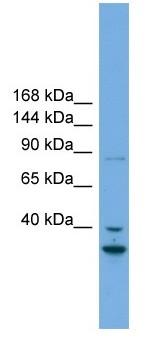 Western blot - FSTL5  antibody (ab105702)