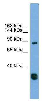 Western blot - FSTL5 antibody (ab105703)