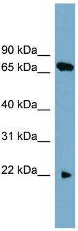 Western blot - SLC24A4 antibody (ab105715)