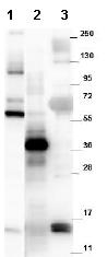 Western blot - Anti-GDF15 antibody (ab105738)