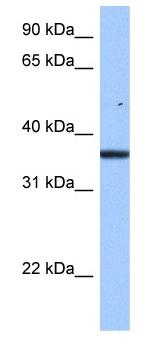 Western blot - FAM153B antibody (ab105748)
