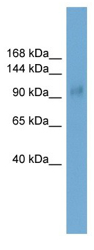 Western blot - Skor1 antibody (ab105749)