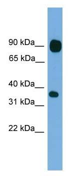 Western blot - PCDHB15 antibody (ab105758)