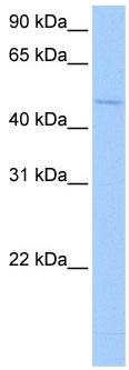 Western blot - RBM45 antibody (ab105770)