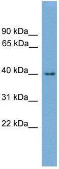 Western blot - Alx1 antibody (ab105772)