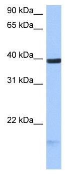 Western blot - HS3ST5 antibody (ab105776)