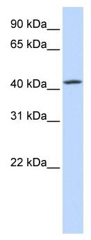 Western blot - C7orf42 antibody (ab105783)