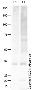 Western blot - Anti-Myelin PLP antibody (ab105784)