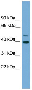 Western blot - C21orf58 antibody (ab105785)