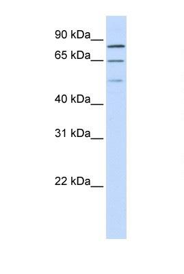 Western blot - ZNF699 antibody (ab105832)