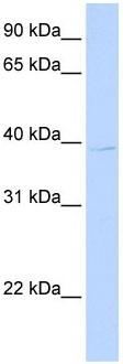 Western blot - LOC650515 antibody (ab105844)