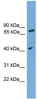 Western blot - UNQ1887 antibody (ab105863)