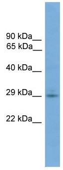 Western blot - TMEM139 antibody (ab105865)