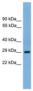 Western blot - BHLHB4 antibody (ab105868)