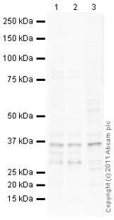 Western blot - Anti-MSI2 antibody (ab105889)