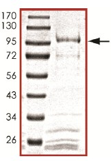 SDS-PAGE - Cdc25B protein (ab105906)