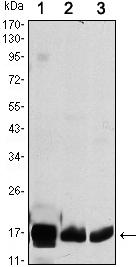 Western blot - COX IV antibody [6B3] (ab105915)