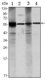 Western blot - ALDH1A1 antibody [5A11] (ab105920)
