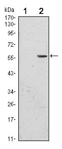 Western blot - CD276 antibody [6A1] (ab105922)