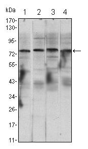 Western blot - IKK alpha antibody [3G12H9] (ab105923)