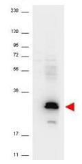 Western blot - Anti-Macrophage Inflammatory Protein 3 alpha antibody (ab106009)