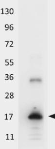 Western blot - Anti-IL33 antibody (HRP) (ab106022)