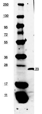 Western blot - Anti-EBI3 antibody (Biotin) (ab106031)
