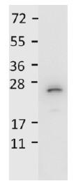Western blot - Anti-IL27 antibody (HRP) (ab106037)