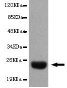Western blot - Anti-DsbA antibody [1A2-D4-G10] (ab106061)