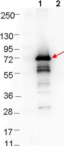 Western blot - Anti-ospA antibody (ab106081)