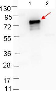 Western blot - Anti-OspB antibody (ab106082)