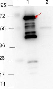 Western blot - Anti-BBA64 antibody (ab106084)