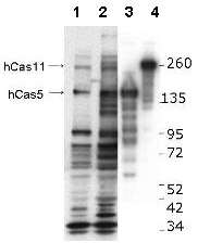 Western blot - Anti-CASZ1 antibody (ab106090)