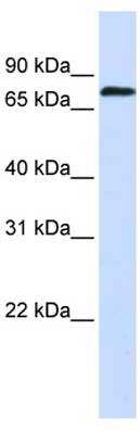 Western blot - ZNF714 antibody (ab106118)