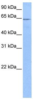 Western blot - FAM71A antibody (ab106122)