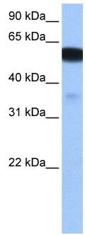 Western blot - NHEDC1 antibody (ab106124)