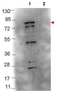 Western blot - Anti-Flagellin antibody (ab106146)