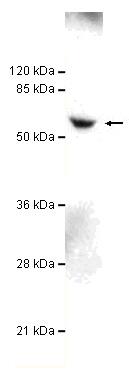 Western blot - TBL1Y antibody (ab106150)