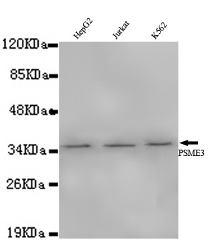 Western blot - Anti-PSME3 antibody [4B2-C2-G4] (ab106213)