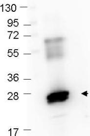Western blot - Anti-GST antibody (FITC) (ab106228)