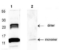 Western blot - Anti-GDF15 antibody (HRP) (ab106260)