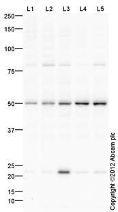 Western blot - Anti-Thymine DNA glycosylase  antibody (ab106301)