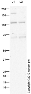 Western blot - Anti-OGT / O-Linked N-Acetylglucosamine Transferase antibody (ab106319)