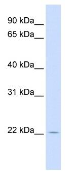 Western blot - RHEBL1 antibody (ab106328)