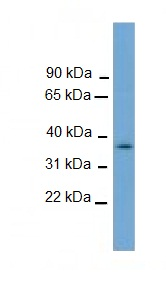 Western blot - NUBP1 antibody (ab106330)
