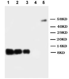 Western blot - IL8 antibody (ab106350)